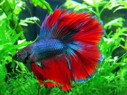 Betta-fish-long-fin-Paw-Pals