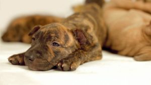 pit bulls are misunderstood being a baby