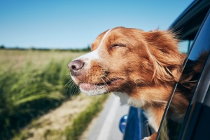 dog with head outside window knowing mistakes dog owners make