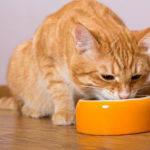 cat given food to eat by a Clifton, VA cat sitter