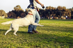 lab running with owner in a dog park