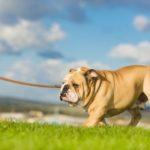 professional dog walking services walking an English bulldog on a leash in Northern VA