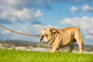 professional dog walking services walking an English bulldog on a leash in Northern VA