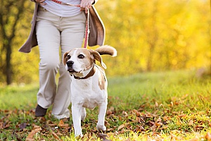 a beagle whose owner is being walked by an employee of a professional dog walking company since the owners are always very busy and cannot walk their dog during the day