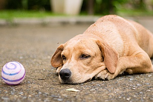 an upset dog laying in the street next to his toy as he waits for a dog sitting services company helps his owners learn how to better take care of him