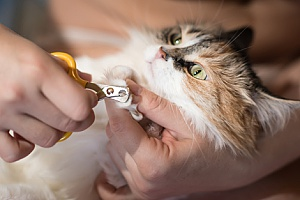 a cat owner doing a trial run of nail trimming with the help of cat sitting services