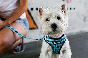 a dog wearing one of the top harnesses in 2019 as he is being walked through dog walking services