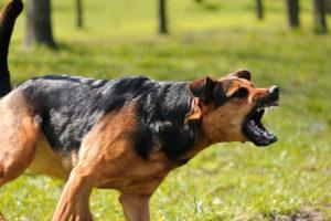 an aggressive off leash dog baring its teeth