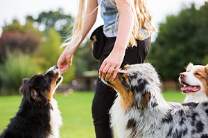 dog walker giving dog treats to distract them from barking at another dog