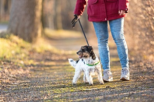 a dog walking sideways being trained by her owner to walk straight
