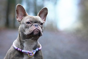 a french bulldog with one of the most unique dog collars