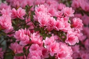 Azalea-Poisonous plants to dogs