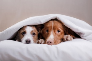 dogs hiding under covers waiting for owner