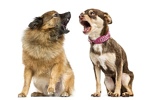 two domesticated dogs barking at each other