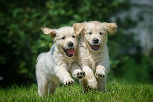 Golden retriever puppies running and playing