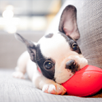 Puppy playing with red toy