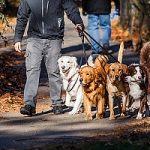 Dog walker walking group of dogs in park