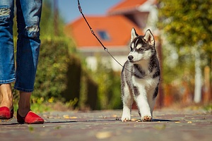 Husky puppy walking on leash