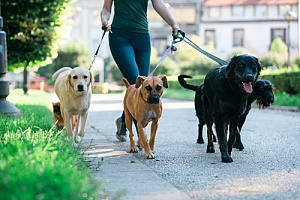 Woman walking group of dogs