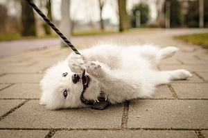 Dog biting leash while walking