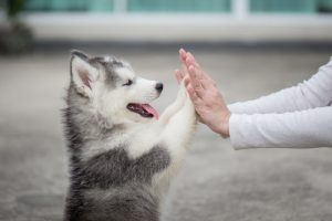 train your puppy to paw hands