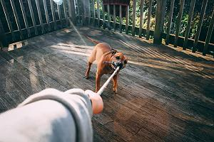 Dog with pet separation anxiety holding owner back