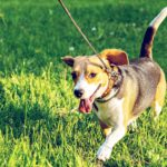 happy dog running in a grassy field while on vacation with their owner