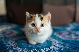 little kitten sitting on a blue blanket looking at her pet sitter