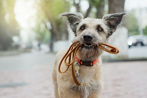 dog holding a leash in his mouth waiting for a walk