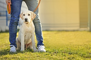 yellow lab sitting at his owners feet