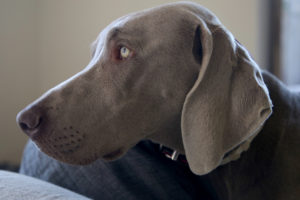 dog walking will not be possible if a dog is battling a disease