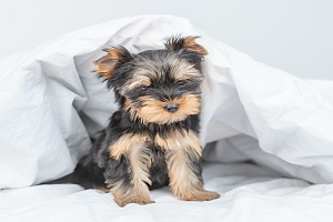 dog on bed in Chantilly VA Dog Sitting
