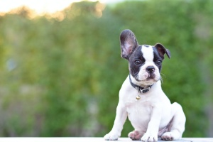 french bulldog being watched by Fairfax Station VA Dog Sitting