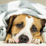 dog under the blanket is waiting for it pet sitter