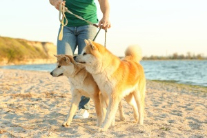 Centreville VA Dog Walking service walking 2 dogs