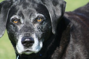 old lab who owner learned house training an older dog without a crate