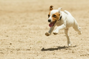 a dog running in dirt off leash