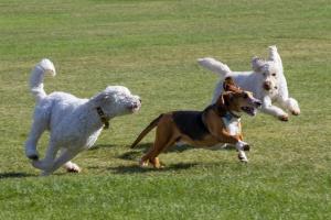 three dogs running off leash