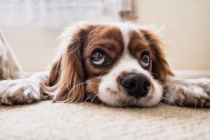 A closeup of a dog resting on carpet. Schedule for bathroom breaks for dog to avoid urinating in a certain spot inside
