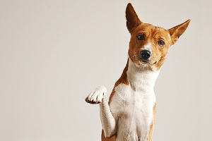A dog giving his paw. Marking in your home is unwelcome behavior in a dog