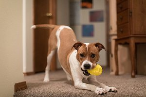 A dog playing with yellow toy inside home. There are several dog that won't come inside when call