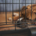 dog in crate after owner learned benefits of crate training a dog