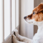 owner needing to know how to help a dog with separation anxiety while dog look out window
