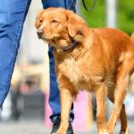 professional dog walker taking a retriever on a walk
