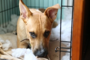 puppy that chewed crate when owner knew Benefits Of Crate Training A Dog