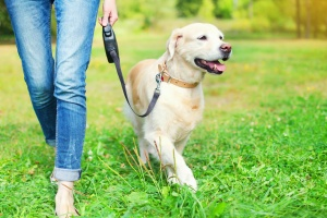 Reston VA Dog Walking services with a lab