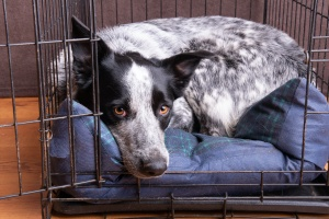 dog in crate once owner learned benefits of crate training a dog