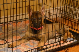 puppy that is being crate training a rescue dog