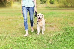 Fair Lakes VA Dog Walking services walking a yellow lab in grass