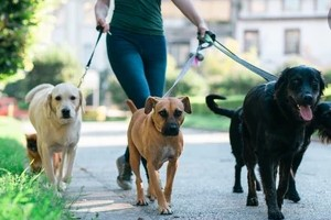 Dogs on Walk with dog walker
